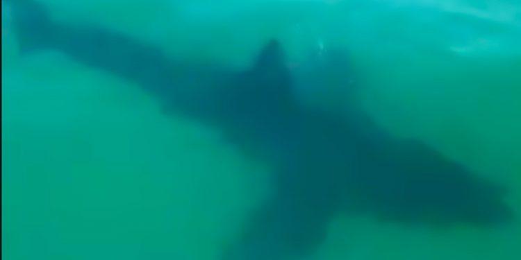 Wellfleet shark . FREE Cape Cod News.