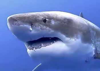 Great White Shark - Free Cape Cod News