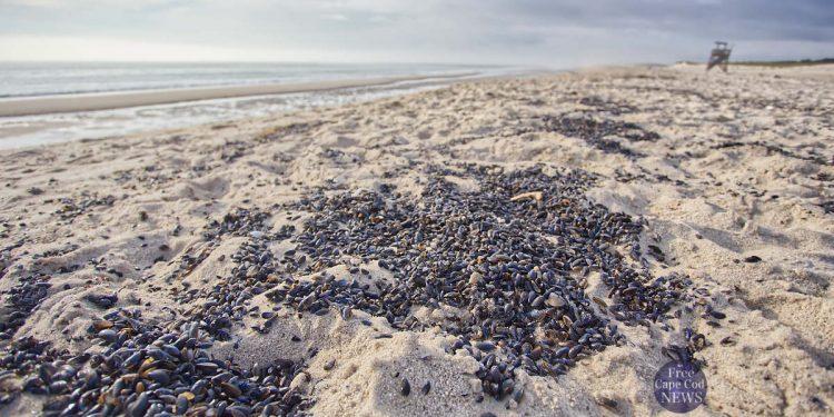 Thousands Shells on Nauset Beach . FREE Cape Cod News.