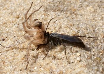 Spider Wasp vs Spider on Cape Cod Beaches